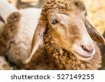 Brown Sheep Face Near Term