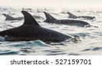 Dolphins  Swimming In The Ocea...