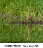Small photo of American Bittern Standing in the Reeds