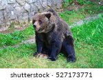 an hungry big brown bear in the ... | Shutterstock . vector #527173771