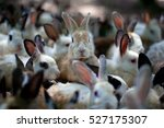 Stock photo a group of young rabbits in the hutch 527175307