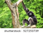 Small photo of Gibbon ape, of the family of Hylobatidae, climbing in the branches of a tree. Its typical habitat is South-Eastern Asia. Black monkey and mammal in nature. Green forest background. Thoughtful animal.
