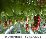 Ready Red Tomatoes At...