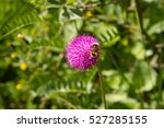 Small photo of Bumblebee On Alpine Thistle Carduus Defloratus