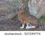 Stock photo snowshoe hare or varying hare with brown coat in spring in canada 527299774