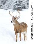 White Tailed Deer Buck Catching ...