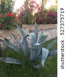 Small photo of Blue agave growing.