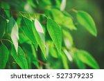 Eucalyptus Green Leaves...