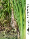 Small photo of American Bittern in the Reeds