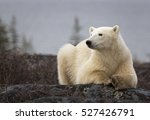 Small photo of Polar bear sow, close up, lying on a boulder. Autumn in Churchill, Manitoba, Canada