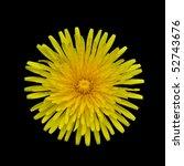 Taraxacum officinale -  Beautiful Yellow Dandelion Flower Isolated on Black Background - stock photo