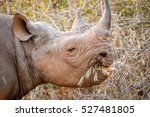 black rhino eating from a bush... | Shutterstock . vector #527481805