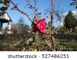 Pink Rose On Rose Bush With Sky