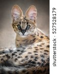 A Serval Kitten At Adelaide Zo...