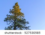 christmas pine trees  green... | Shutterstock . vector #527530585