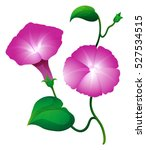 Two Morning Glory Flower In...