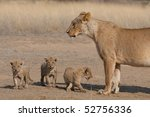 A mother lioness with three tiny cubs in the Kalahari, South Africa - stock photo