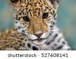 Jaguar Baby Close Up Portrait...