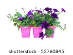 Purple petunia isolated on a white background. - stock photo