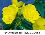 Beautiful Yellow Oenothera...