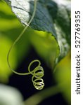 Tendrils From Cucumber Plant