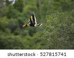 Great Hornbill In Kkc05