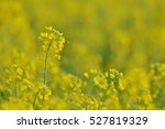 Rapeseed Flowers In Luoping In...
