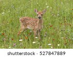 Fawn Chest Deep In Wildflowers