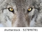timber wolf portrait. a close... | Shutterstock . vector #527898781