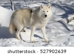 Arctic Wolf In Winter