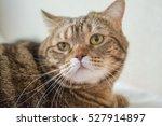 bengal cat. beige cat posing... | Shutterstock . vector #527914897