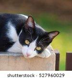 Cute  Tuxedo Cat  Proud Of...