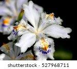 Iris Japonica  Fringed Iris ...