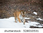 tiger looking toward the camera ... | Shutterstock . vector #528010531