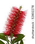 Red Bottle Brush Tree Branch...