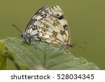 Marbled White  Melanargia...