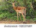 A Female Impala Looks Back Ove...