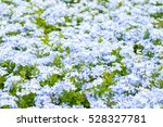Small photo of Amazing many beautiful blue and white flower in the garden adsorbed sunlight