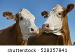 Two Simmental Red Cows With...