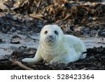 Stock photo baby seal 528423364