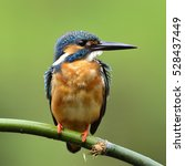 Small photo of Beautiful bird male Common Kingfisher or Eurasian Kingfisher perched on bamboo wood (Alcedo atthis)