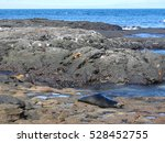 Sea Lions And Crabs On Lava...