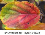 leaf in autumn changing from... | Shutterstock . vector #528464635