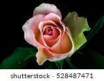 close up of pastel rose flower. ... | Shutterstock . vector #528487471