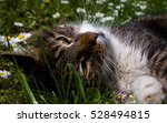 Cat Lying In The Grass Within...
