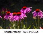 Pink  Purple Flowers Of Purple...