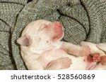 Cute White Labrador Retriever...
