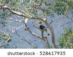 Great Hornbill On Tree In Khao...