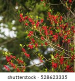 red berries at christmas time...   Shutterstock . vector #528623335