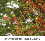 red berries on christmas time...   Shutterstock . vector #528623341